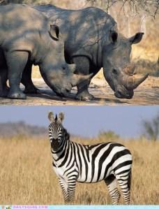 rhino vs zebra