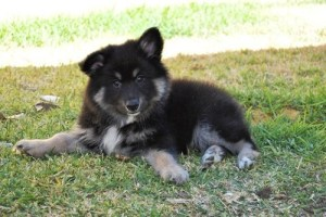 fluffy lapphund pup