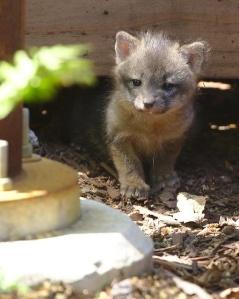 baby fox kits2